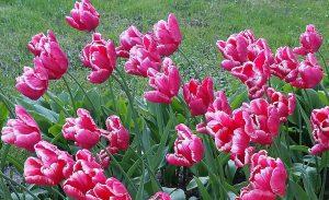 фрагмент выставки тюльпанов