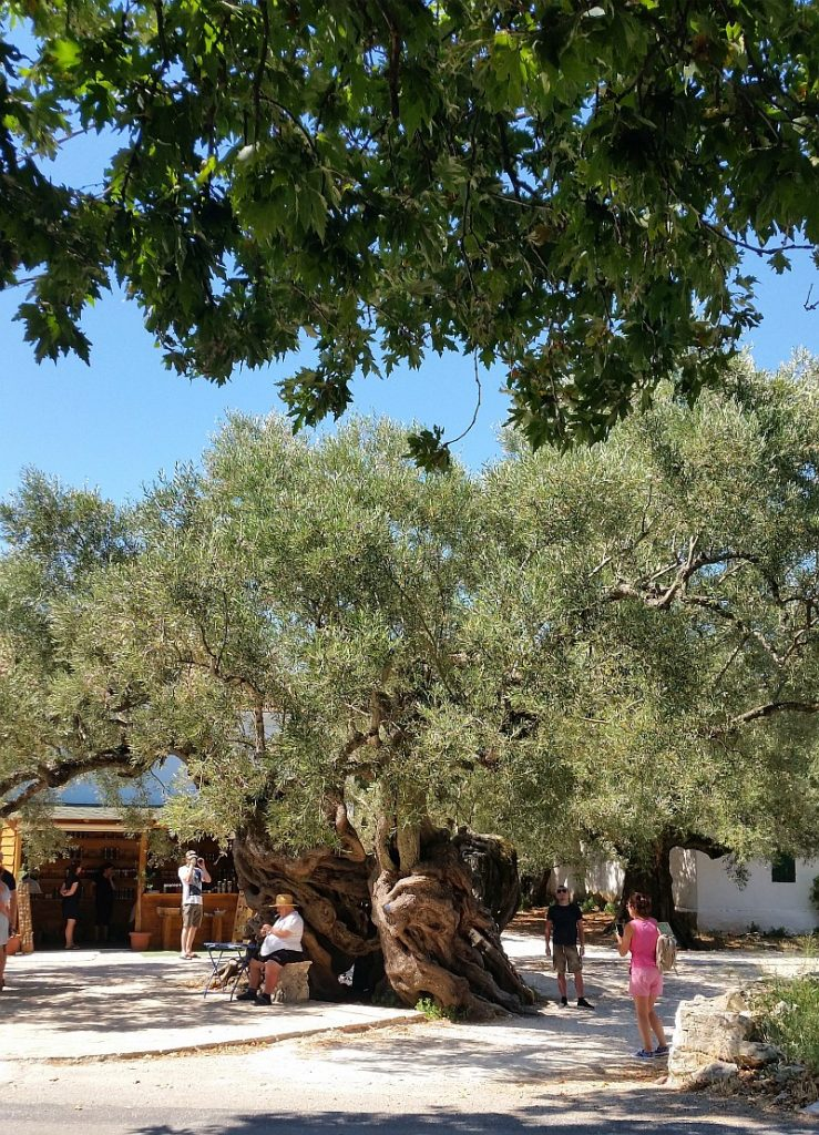 Самая старая олива на острове. Ей более 1000 лет!