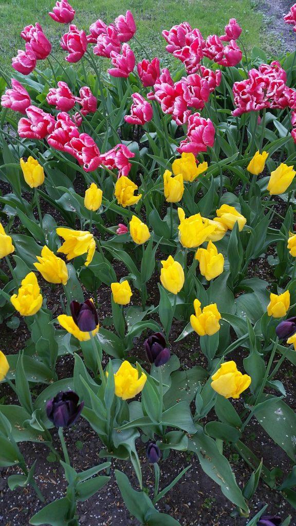 Один из сортов черных тюльпанов