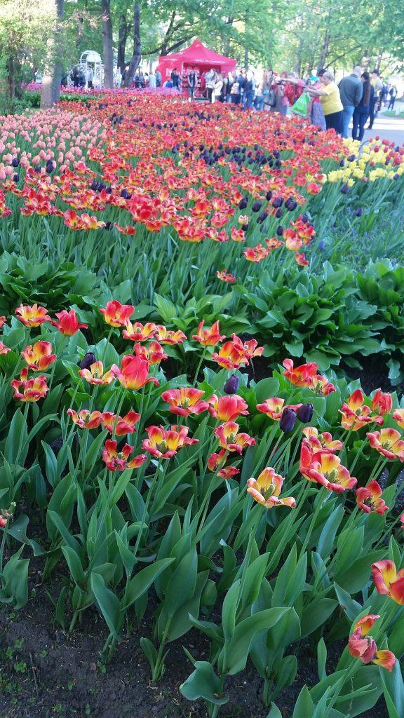 Вкрапления черных тюльпанов
