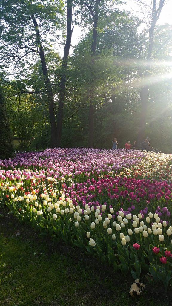 Ковер из тюльпанов под лучами солнца