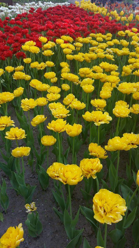 Желтые и красные тюльпанчики