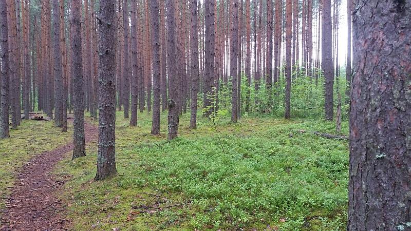 Сосны и мох